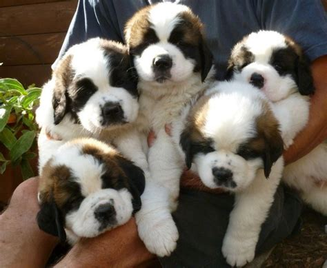 Boneka Anjing St Bernard 2 15 bernard puppies who are just adorable for words
