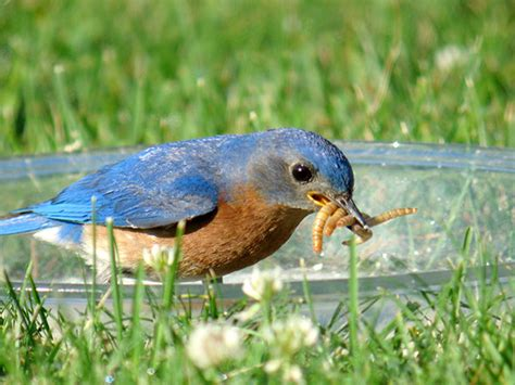 feeding bluebirds 187 bird watcher s digest