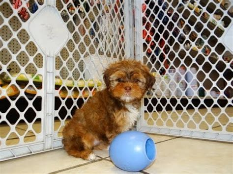 yorkie puppies for sale in southaven ms yorkie tzu puppies for sale in omaha nebraska ne lincoln bellevue