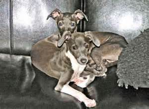 italian greyhound puppies florida italian greyhound puppies for sale in florida breeds picture