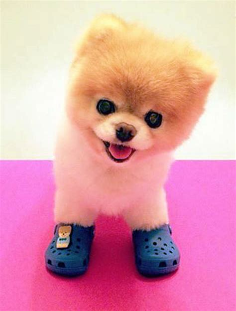 puppy boo boo the world s cutest signs shoe charm deal with crocs news from the