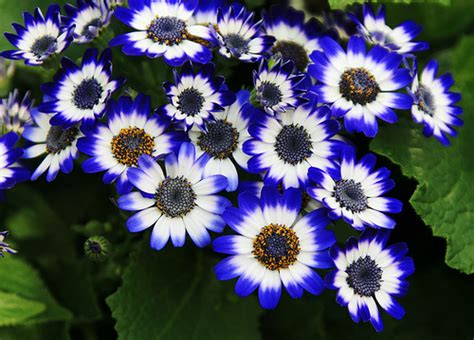 flower pics cineraria flower pictures meanings of cineraria flowers
