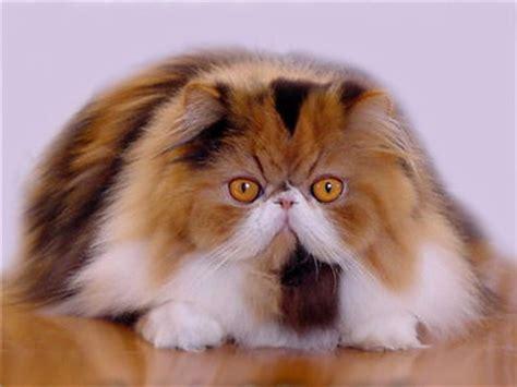 gatti persiani immagini il gatto persiano le tabelle di allevamento