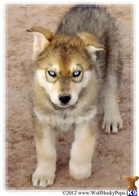hybrid dogs 302 best wolves images on fox nature and coyotes