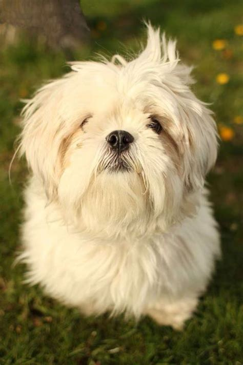 shih tzu west highland terrier mix 9 best ideas about shih tzu westie on white terrier puppys and magic ring