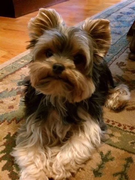 do teacup yorkies health problems 1000 ideas about terriers on yorkie teacup yorkie and yorkie dogs