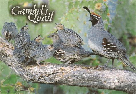 pk0253 gambel s quail found primarily throughout the