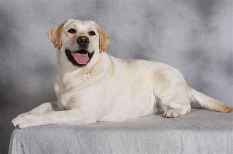 labrador retriever puppies for sale in wisconsin started gun started retriever wisconsin autos post