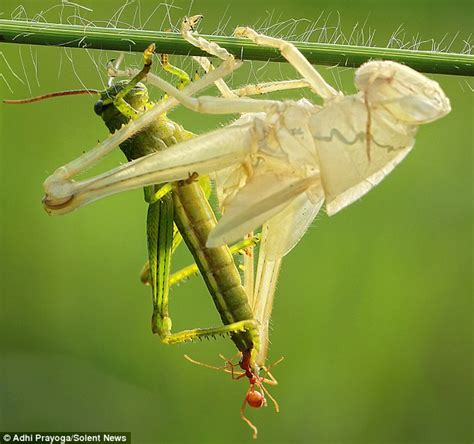 Insects That Shed Skin by Patience Grasshopper Insect Carefully Shedding