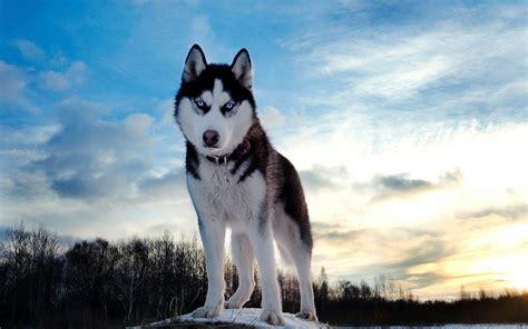 beautiful wolf   winter wallpaper hd animals wallpapers