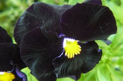 imagenes de flores llamadas pensamientos pensamientos maravillate