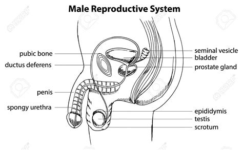reproductive system diagram easy diagram of reproductive system education
