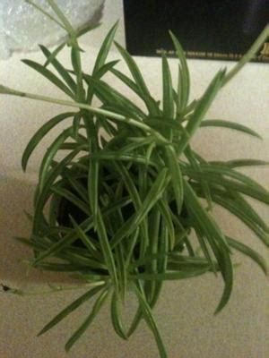 tiny  succulent   miniature green beans