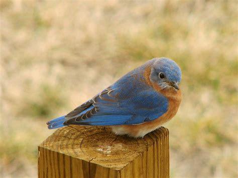 blue bird bluebird