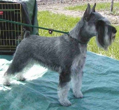schnauzer cuts and styles 1000 images about grooming on pinterest giant schnauzer