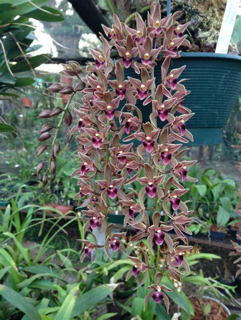 garden orchids and roses auf pinterest orchideen dfte 115 besten cymbidium bilder auf pinterest exotische