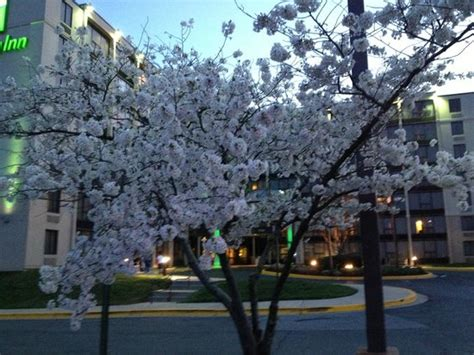 flowering fruit tree in front of holiday inn picture of holiday inn washington dc greenbelt
