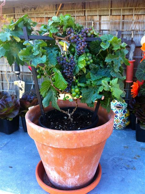 Sale Velly Anggur pixie grape tabletop grapevine that stays and