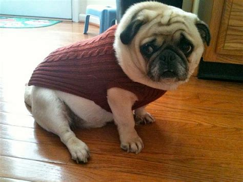 pugs in sweaters pug in a sweater animals in sweaters