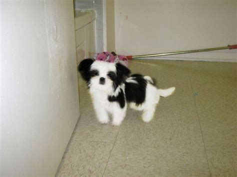 micro shih tzu micro teacup shih tzu for sale in california breeds picture