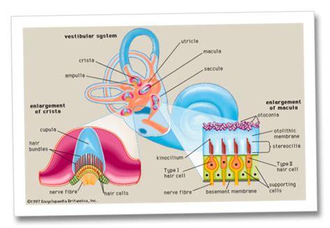 vestibular nerve definition vestibular causes symptoms treatment vestibular