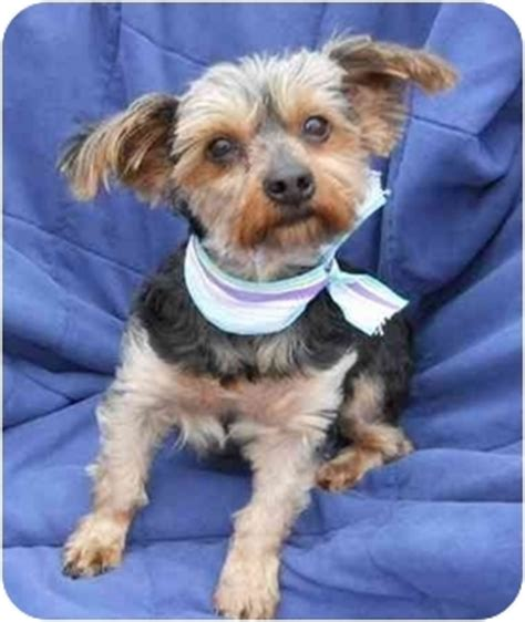 tennessee yorkie rescue sweet charity adopted tn yorkie terrier
