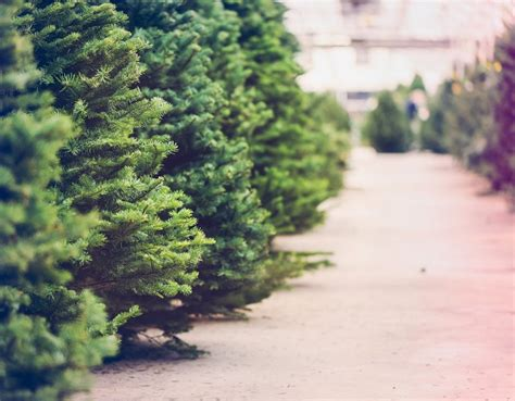 tips on how to buy a live christmas tree in singapore