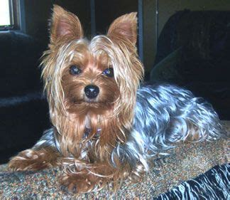 yorkie blue and blue and gold yorkie he has a distinctively beautiful glistening blue and gold coat