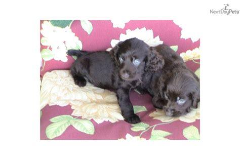boykin spaniel puppies for sale near me boykin spaniel puppy for sale near carolina 3f07f446 c6f1