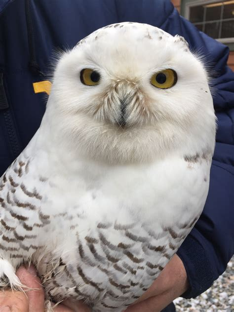 amazoncom snowy owl snowy owl is on the mend news sports marietta times