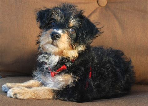 yorkie poo personality traits yorkie poo breed information characteristics heath problems dogzone
