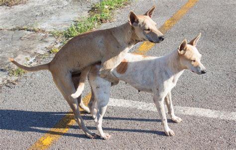 Imagenes De Animales Apareandose | 191 por qu 233 los perros se quedan pegados despu 233 s de aparearse