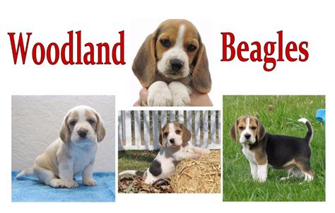 beagle puppies for sale craigslist beagle dogs puppies for sale image search results breeds picture