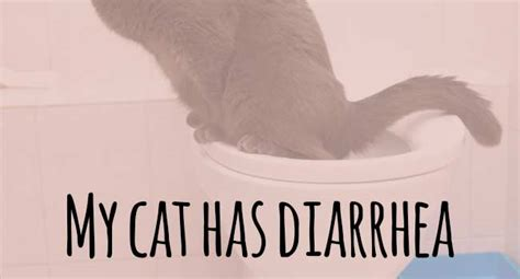 has diarrhea cat diarrhea my cat has diarrhea what should i do