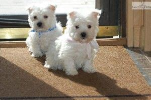 westie puppies mn 1000 ideas about westie puppies for sale on goldendoodles for sale pug