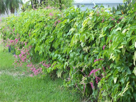 Backyard Shrubs I Like Plants Coral Vine Antigonon Leptopus