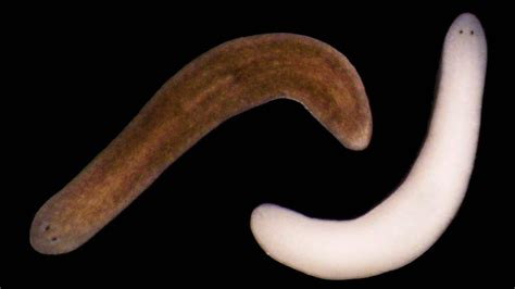 flatworm in these flatworms could help treat light sensitivity disorders in humans