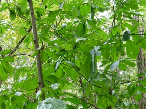 fruit trees in pa foraging for pawpaw fruits in pennsylvania veggie