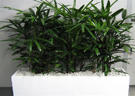 gardenia flowers boxes for sale overnight delivery rhapis palm for sale naples