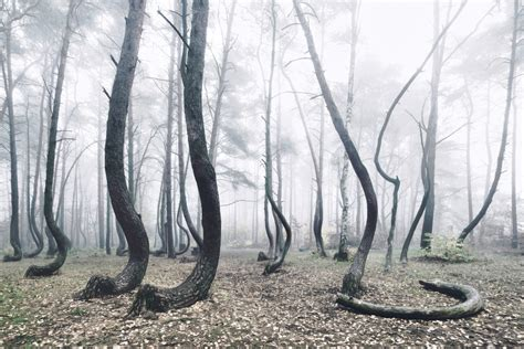 mysterious crooked forest in west pomerania poland mysterious crooked forest of poland in photos