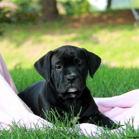 bullador puppies arabelle bullador puppy for sale in pennsylvania