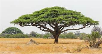 10 things you didn t know about african acacia trees