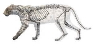 Cheetah skeleton running galleryhip com the hippest