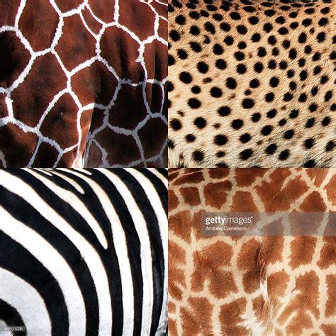 animal pattern artwork collage of giraffe and zebra and cheetah patterns stock
