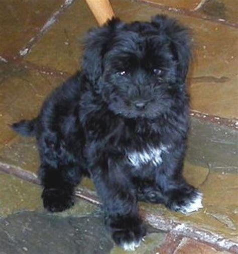 maltese yorkie poodle puppies hoobly for sale yorkie maltese and poodle puppies breeds picture