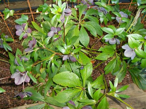 helleborus botanics stories