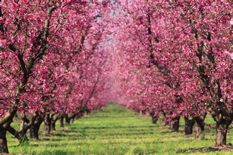 cherry tree orchard cherry orchard in stock images image 10606504