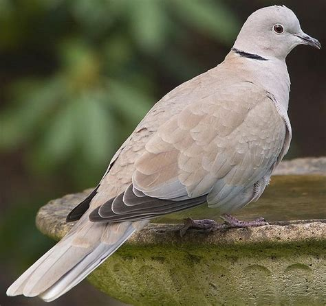 grey dove with black ring around neck 20 best birds i seen images on birds bird and the birds