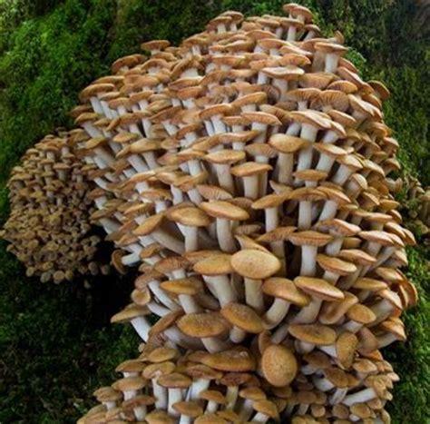 cucinare chiodini chiodini ortaggi funghi commestibili