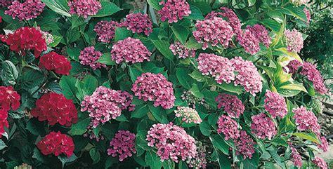 ortensia in vaso cura giardinaggio giardino ortensie ortensia come coltivarla